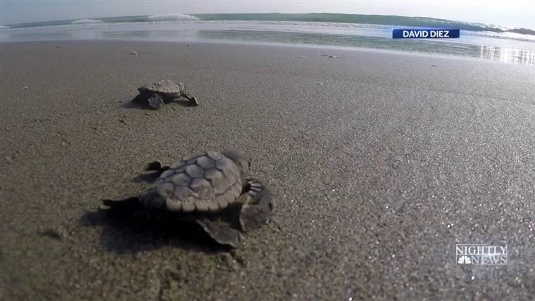 NBC news video on turtle hatchlings and beachfront lighting