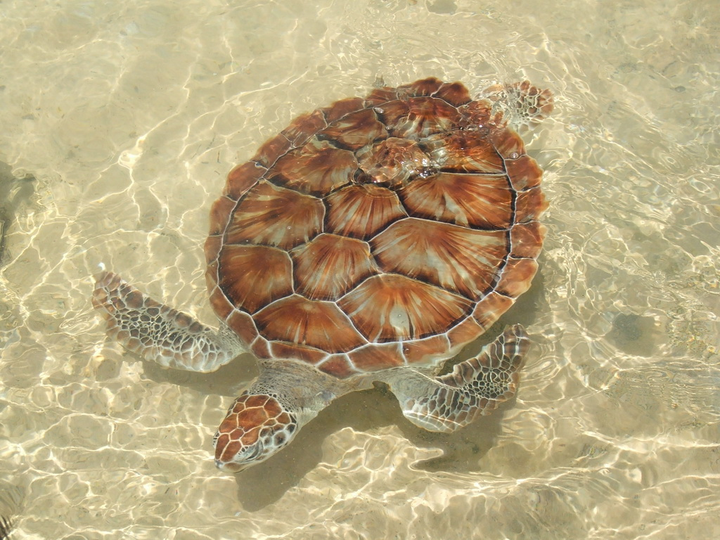 How many came home? The story of how Cayman Turtle Centre saved the Green sea turtle