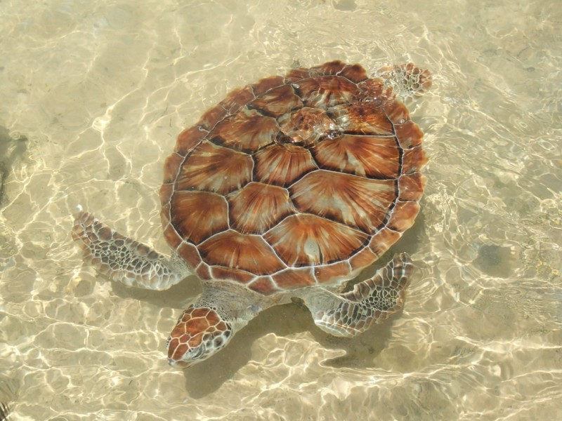 How many came home  The story of how Cayman Turtle Centre saved the Green sea turtle