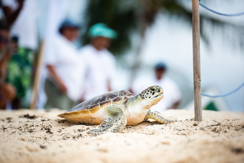 Cayman Turtle Centre announces close of a very successful captive breeding season