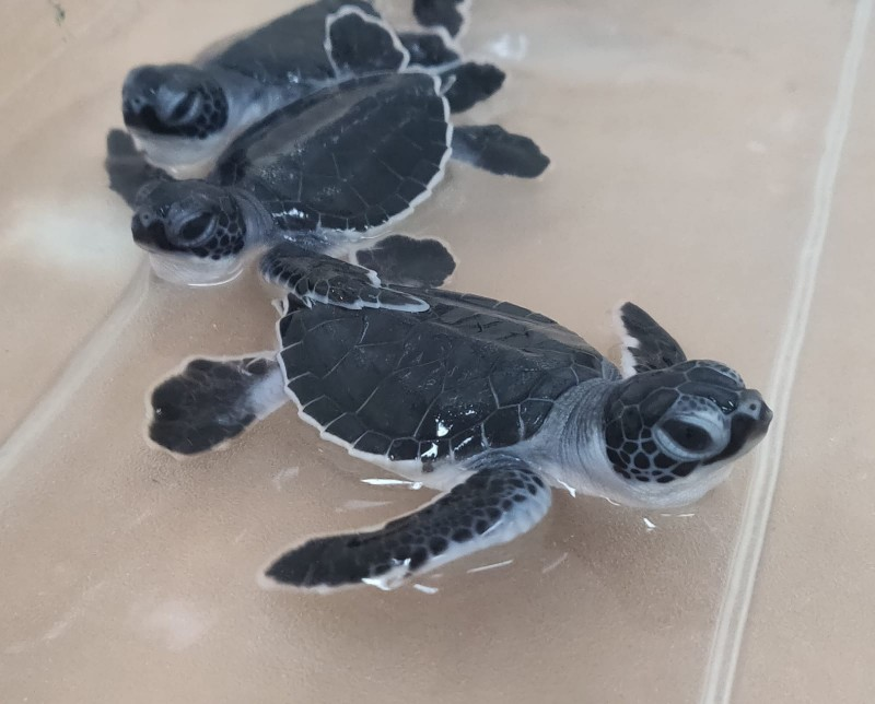 Earth Day at Cayman Turtle Centre Welcomes Seasons First Hatchlings