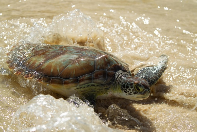 New turtle nesting numbers confirm continuing success of Cayman Turtle Centre's release programme
