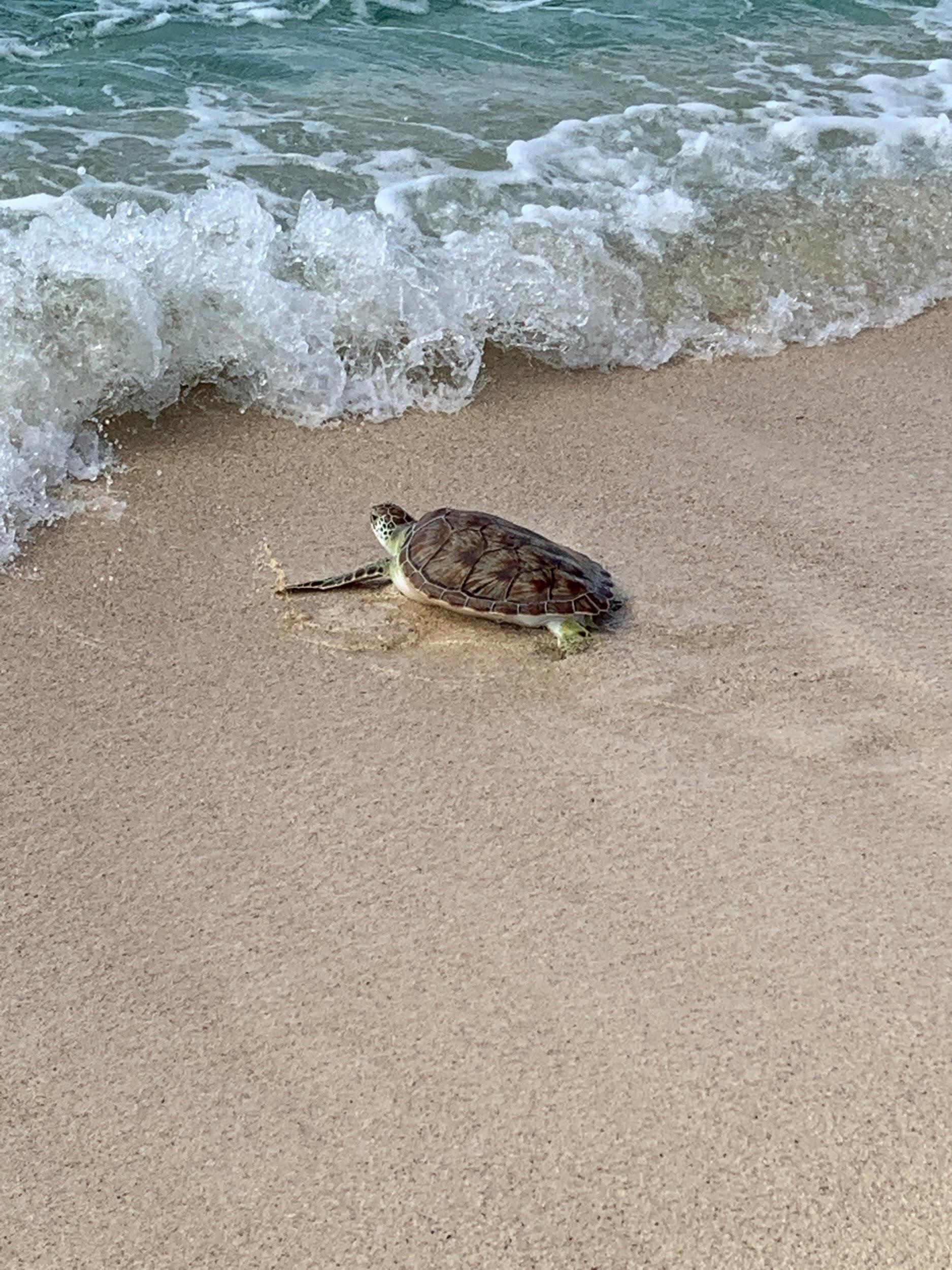Cayman's Annual Turtle Release Program - Image 1