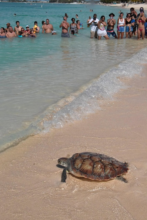 release of head-started Green turtle cayman islands