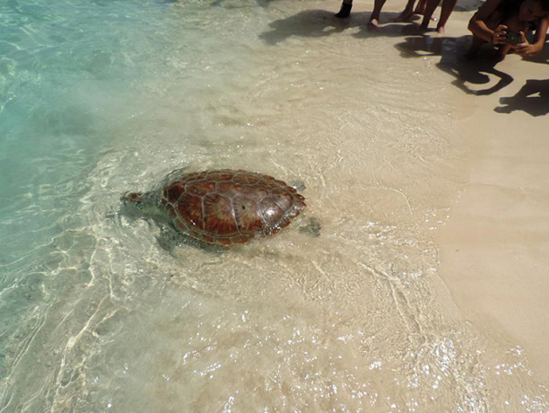 Released green turtle swimming into the sea